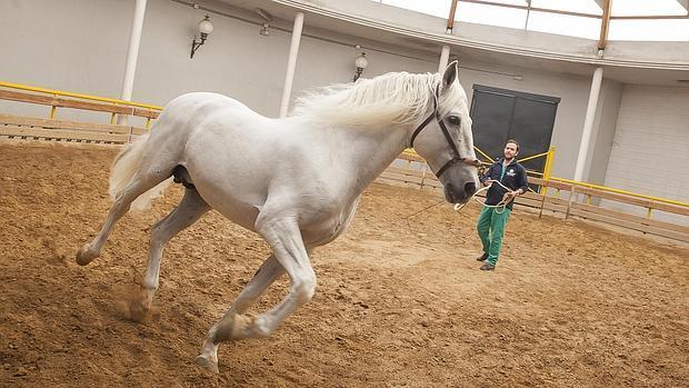 Uno de los caballos en el Hospital Clínico Veterinario de Rabanales