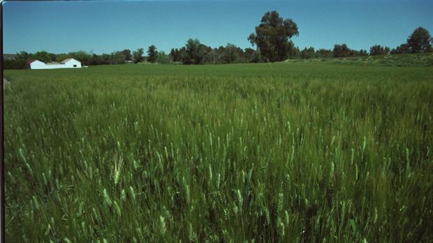 Un campo de trigo