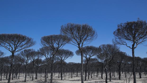 Aspecto de un pinar completamente calcinado tras el incendio del entorno de Doñana del pasado año