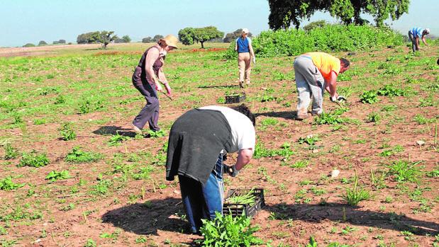 Recogida del espárrago en una finca dedicada a la agricultura ecológica