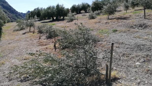 Plantones de olivos talados a uno de los agricultores de Priego