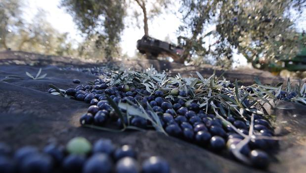 Racimos de aceitunas en la temporada de recogida en Andalucía