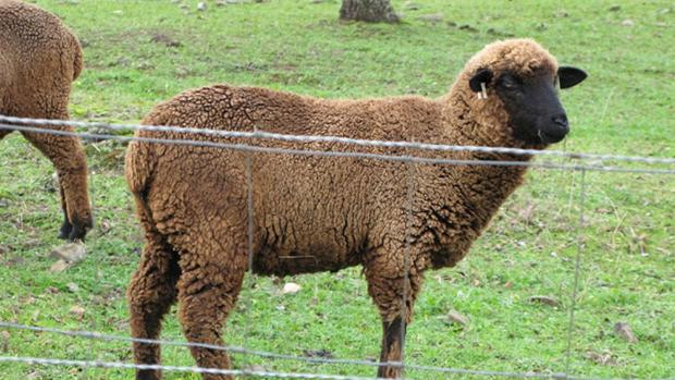 Una oveja merina negra