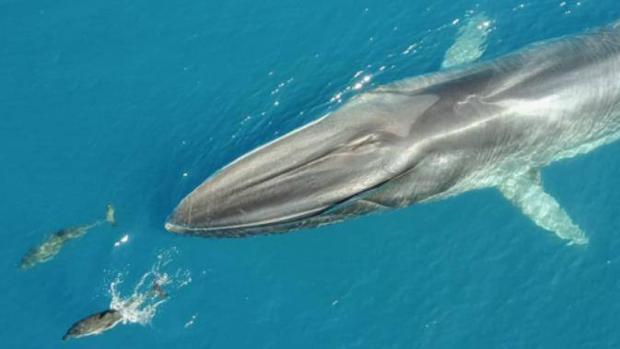Así contribuye la segunda ballena más grande del mundo a frenar la acumulación de CO2 en el mar