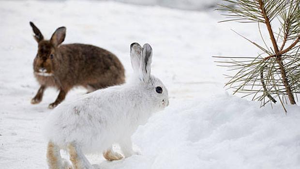 A los conejos les gusta comer plantas con mucho ADN, según un estudio