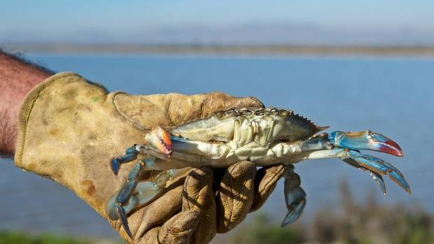 Cangrejo azul americano