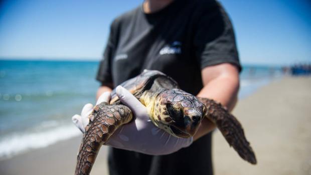 Registran la quinta puesta de huevos, en 200 años, de una tortuga marina en una playa de la Comunidad Valenciana