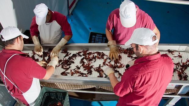 La economía del 70 por ciento de la población de Isla Mayor depende del cangrejo rojo