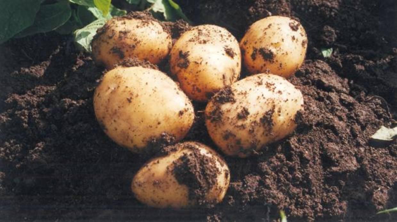 Patata Porner manu sánchez, embajador de la patata nueva de la rinconada