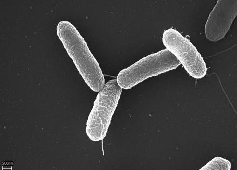 'Salmonella typhimurium'