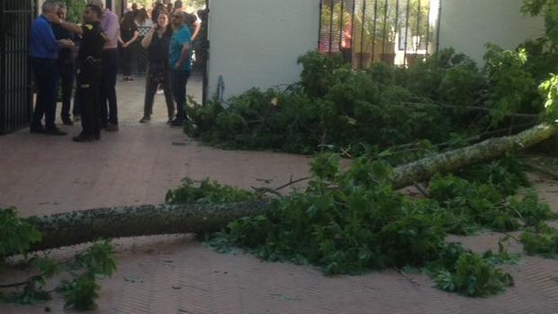 El árbol caído en el Alcázar de Sevilla, junto a personal del monumento