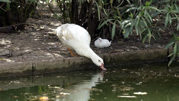 Patos, en el estanque del Parque de los Príncipes