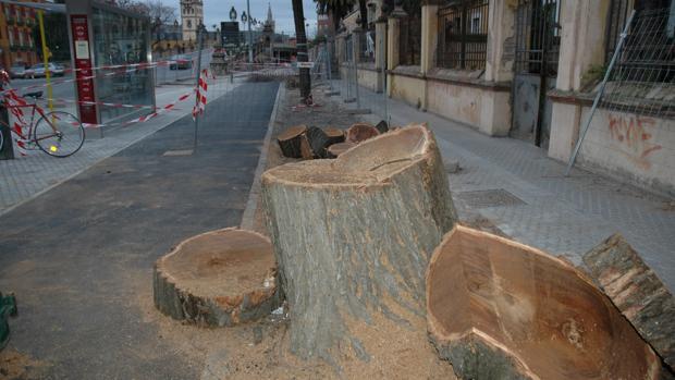 Árboles talados en la avenida Eduardo Dato